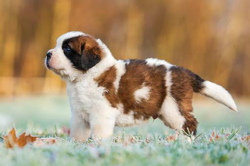 Saint Bernard Dog Breed | History, Health & Characteristics