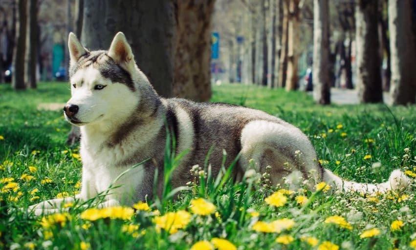chien esquimau canadien au printemps