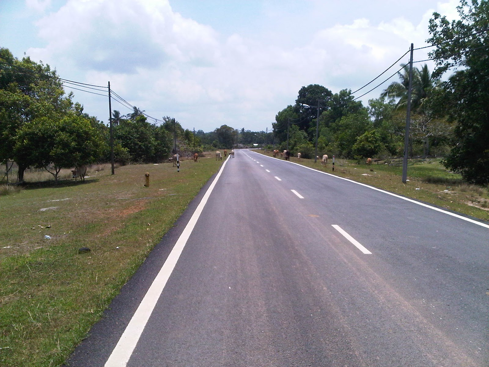 malaysia-b-road-cows-exotic-palm-plantation