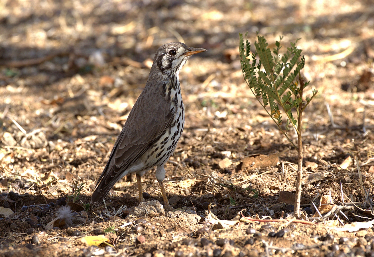 groundscraper thrush (Copy).jpg