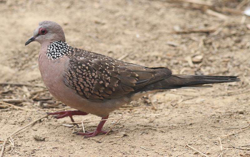 File:Spilopelia chinensis (Columbidae) (Spotted Dove), Dhaka, Bangladesh.jpg