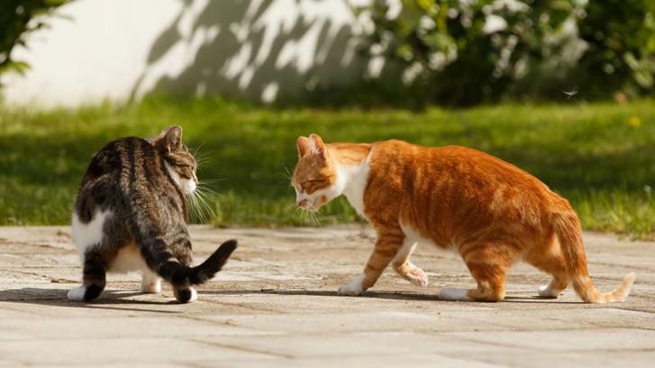 nguyên nhân mèo đánh nhau