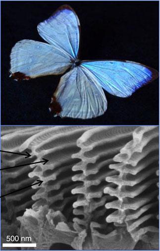 File:Morpho sulkowskyi wings.jpg