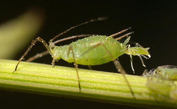 File:Aphid-giving-birth.jpg