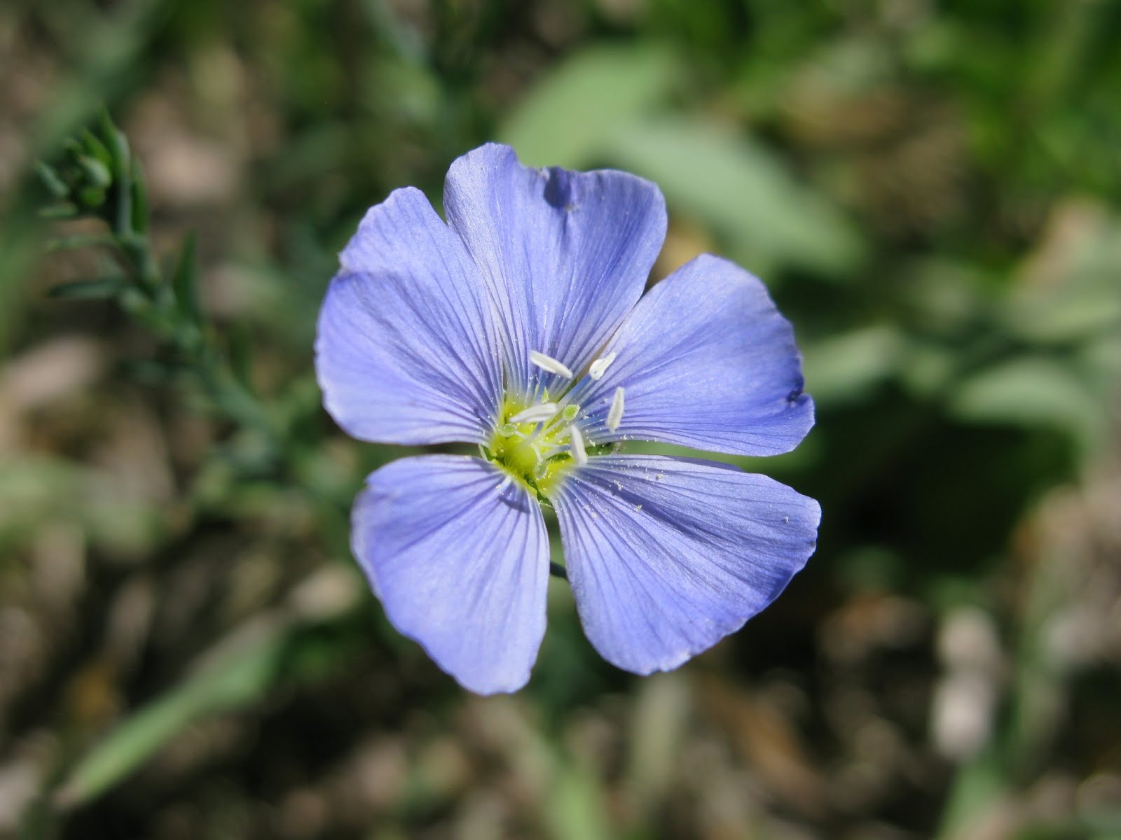 Blueflax (Linum lewisii)