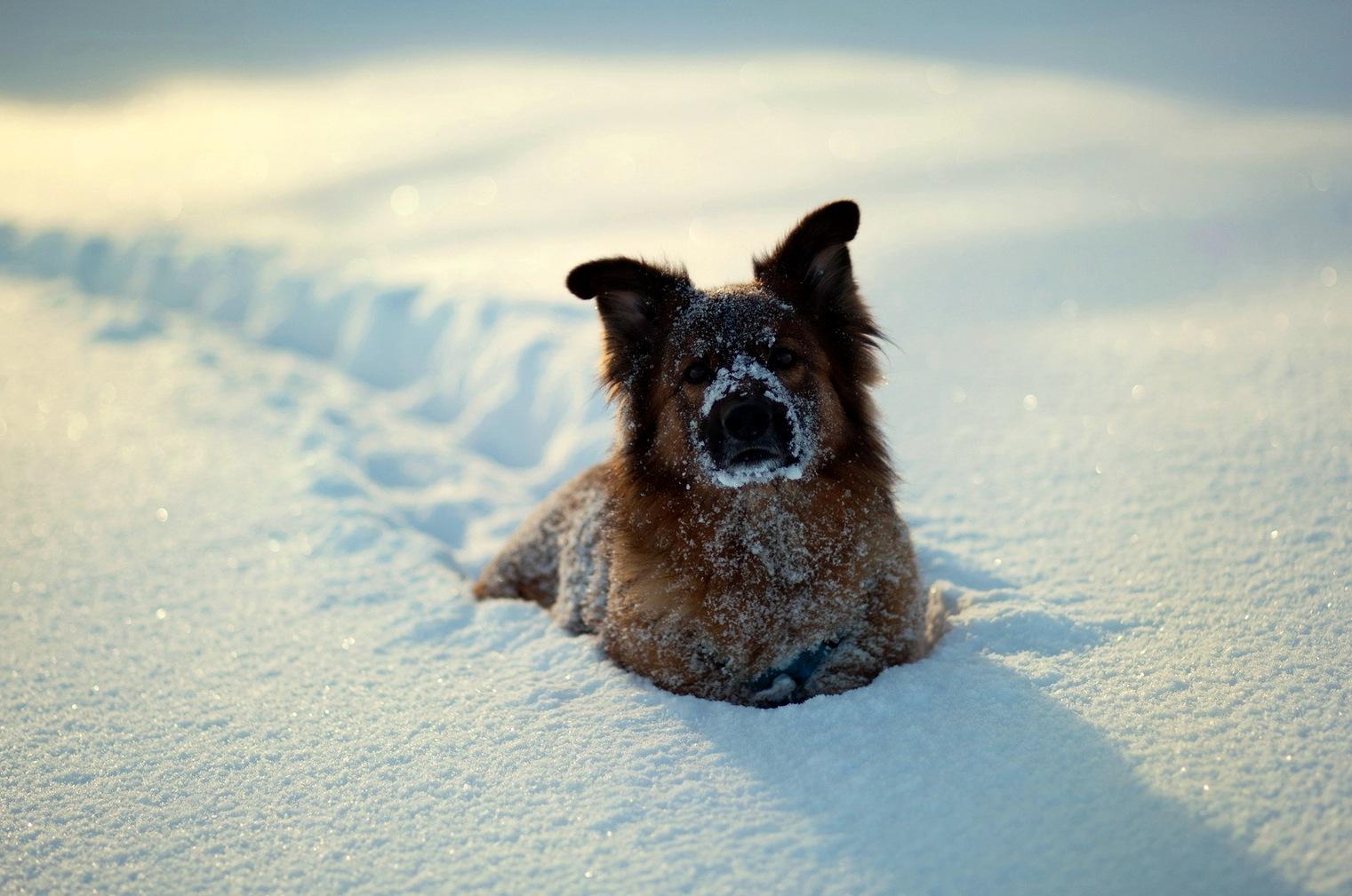 Animals___Dogs_The_dog_in_deep_snow_087713_.jpg