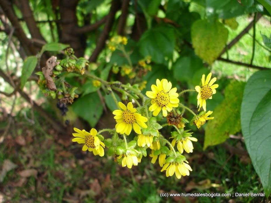 Flor del arboloco