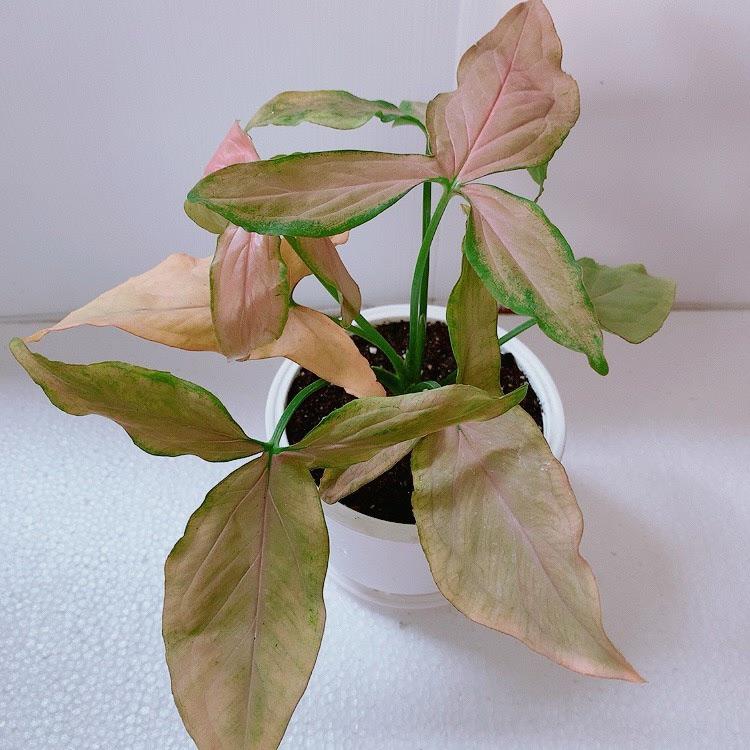 2. ต้นไหลมาด่างชมพู (Syngonium podophyllum)