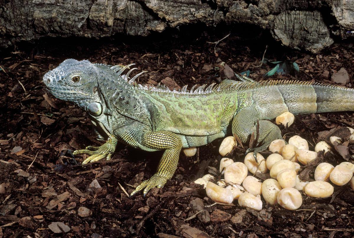 Image result for green iguanas eggs