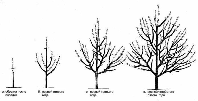 Схема формирования разрежённо-ярусной кроны