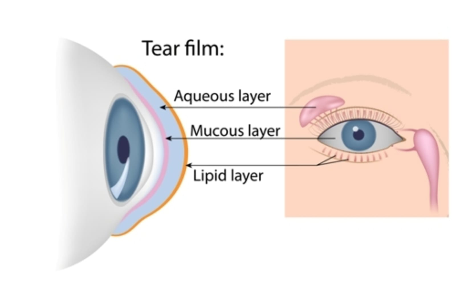 Diagram showing the aqueous, mucous, and lipid layers of tear and which part of the eye produces them