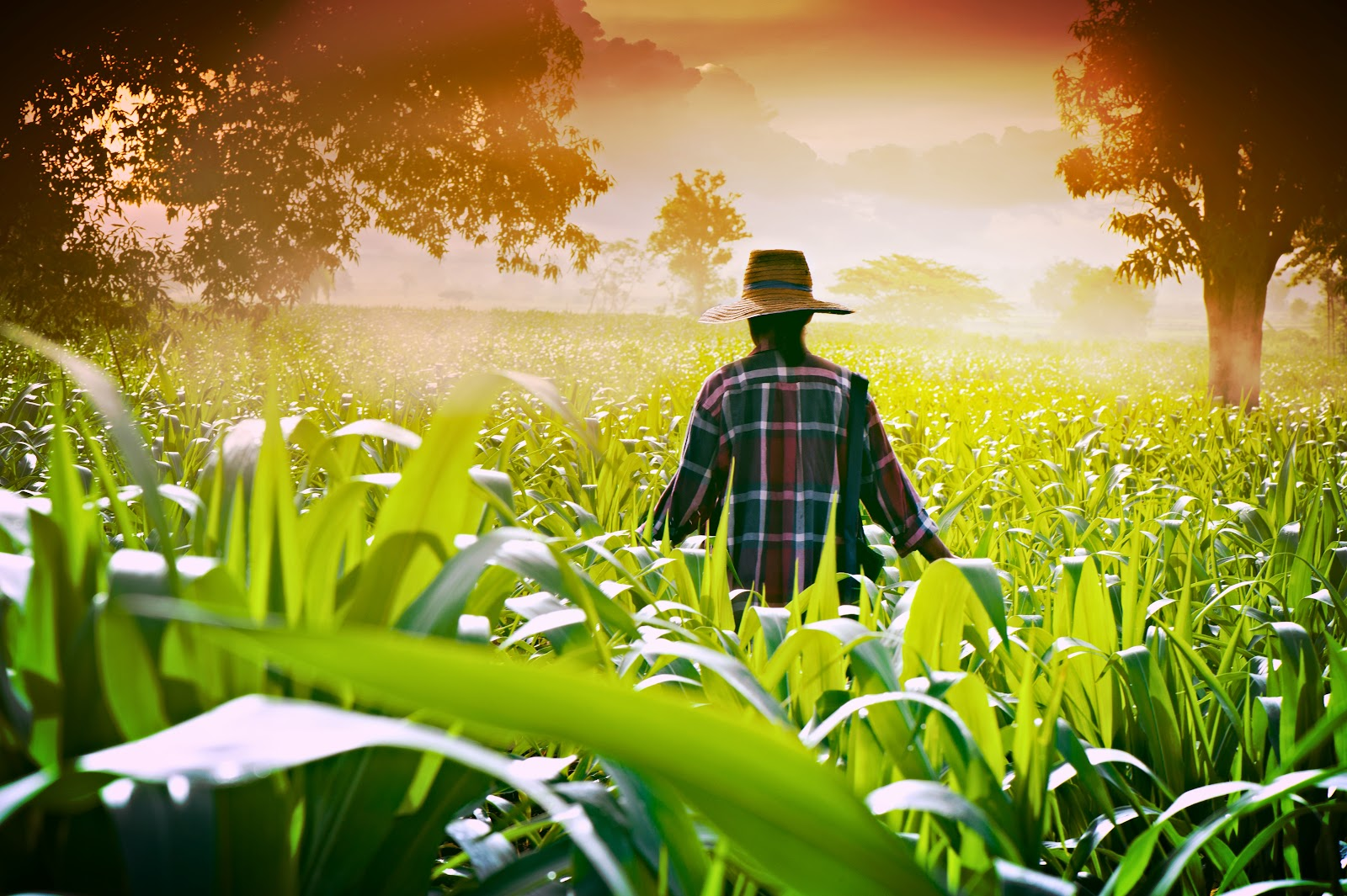 farmer-woman-walking-in-corn-fields-at-early-morning_21782208660_o.jpg