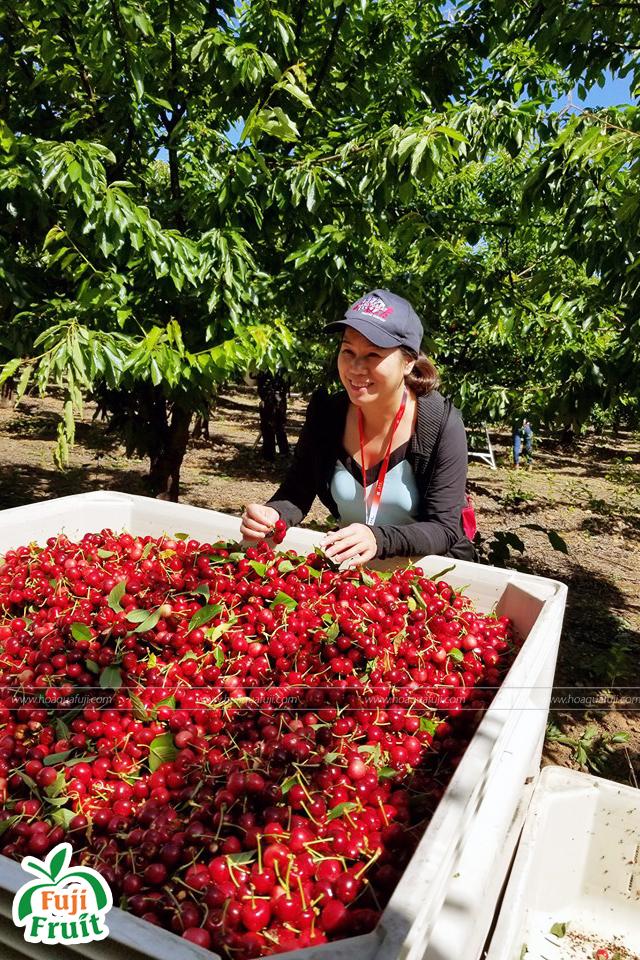 Cherry Mỹ thu hoạch vào tháng mấy ?