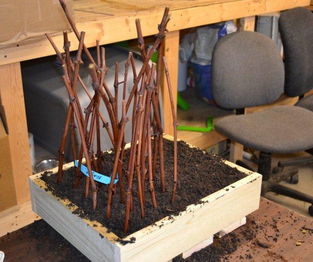 Укоренение черенков винограда