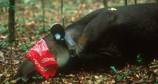 Tapir in sternal recumbency following induction.