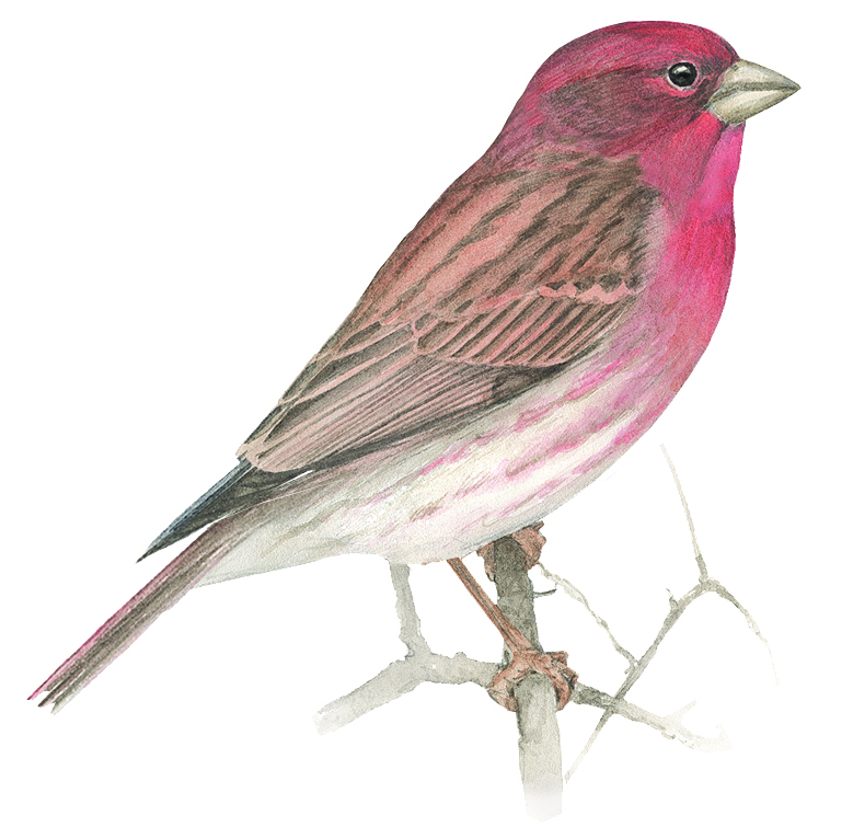 Birds Of The Month Purple Finch House