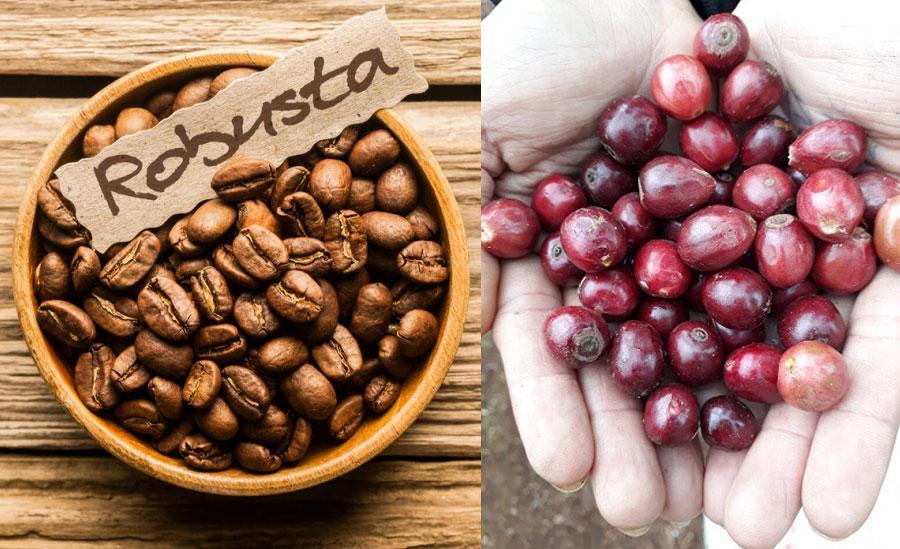 Motherland nơi cung cấp cho bạn cà phê rubosta, cà phê arabica chất lượng