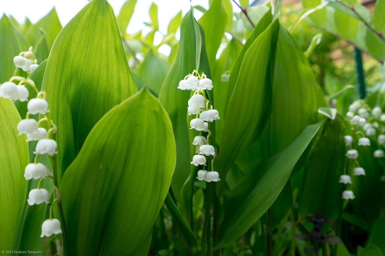 お庭にひっそりと佇む5月の誕生花「すずらん」