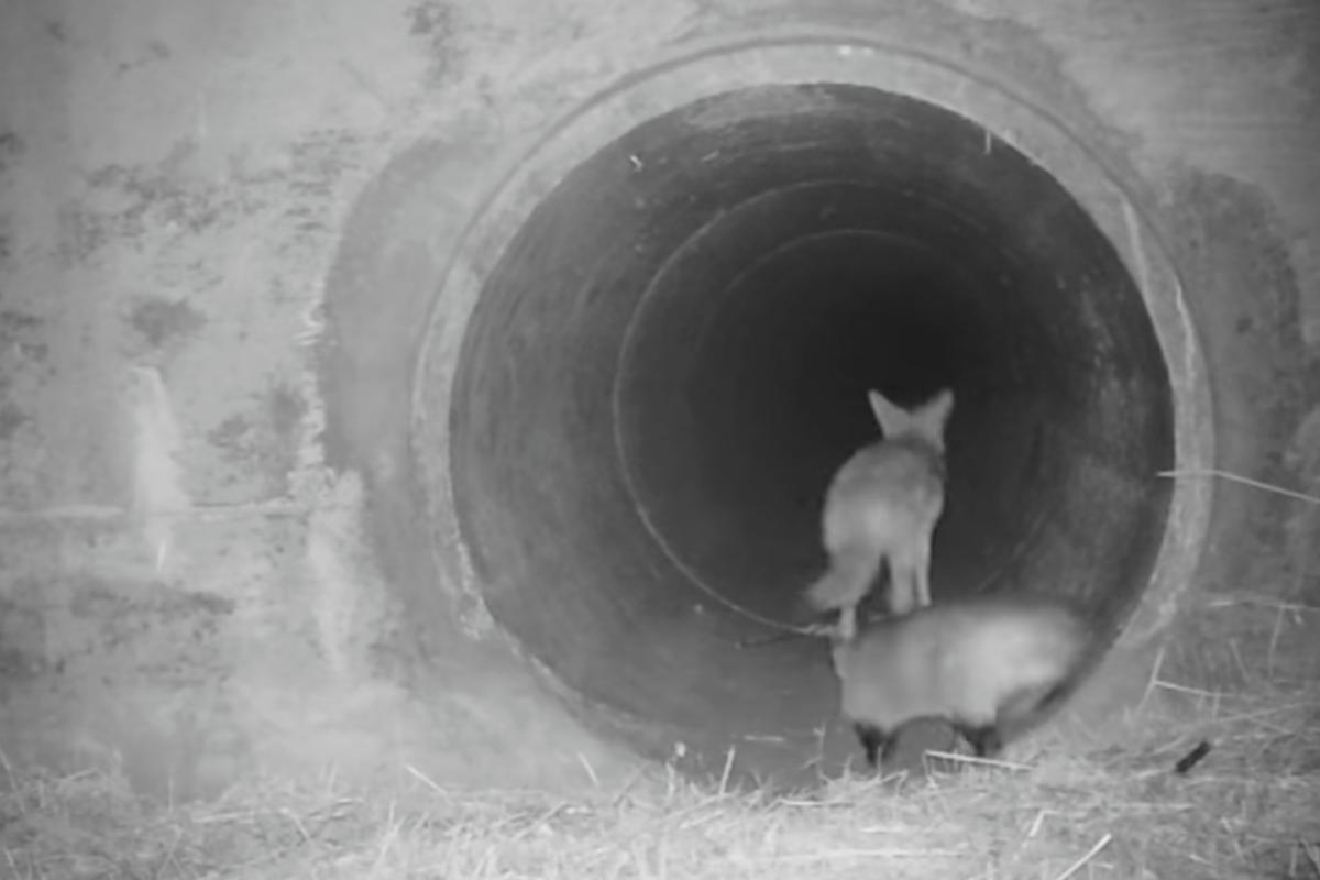 Coyote y un Tejón se hacen mejores amigos en cámara