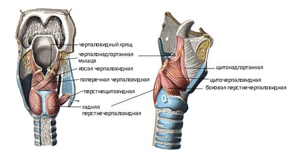 muscules_larynx