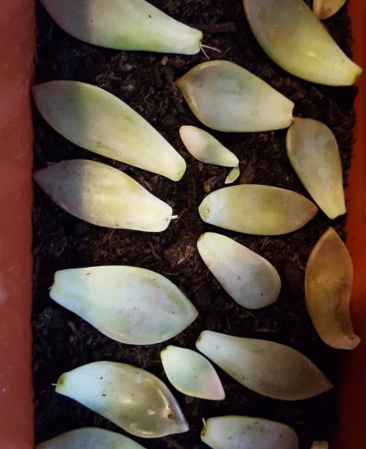 regrowing succulent plants