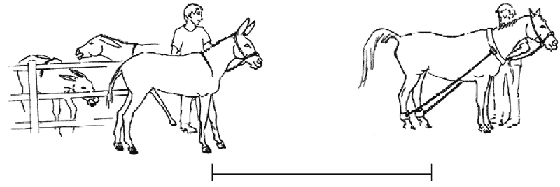 An illustration of a breeding system used for semen collection or for in-hand natural mating of donkeys. On the right is a restrained mare deep in estrus, in the center is the donkey presenting full erection, kept at a distance (4 - 6 m) from and gazing at the estrus mare, and in the background to the left are two estrous jennies within visual contact of the jack thus emulating the natural system and encouraging sexual behavior in the jack. This drawing was presented and published in the proceedings of the 55th Annual Convention of the American Association of Equine Practitioners, Las Vegas, Canisso et al. [15].