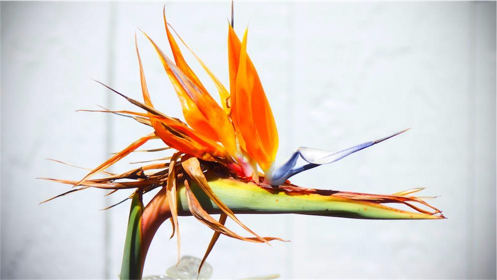 Older Bird Of Paradise.jpg