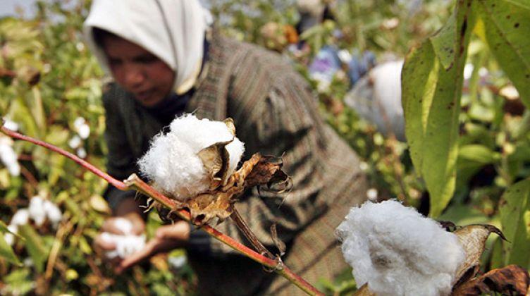 مبادرة مصرية لإنتاج قطن أنظف