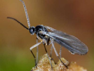 adult fungus gnats on houseplant