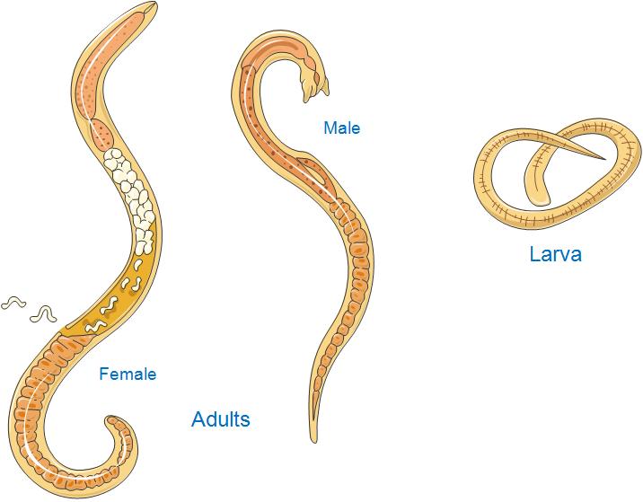 Adult trichinella spiralis worm