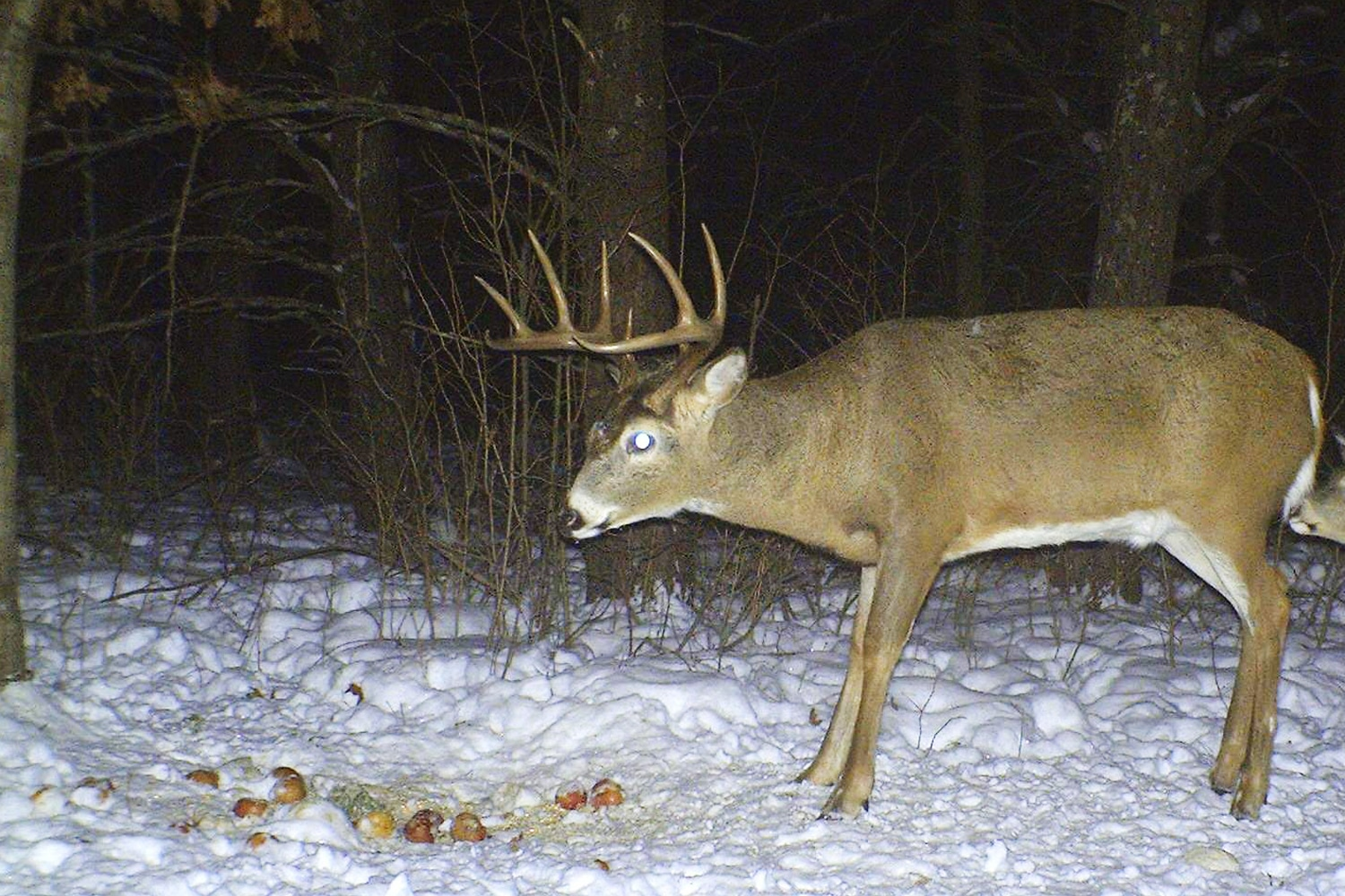 Shed Hunting - Buck
