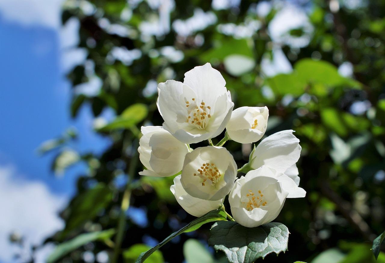 plantas de jasmim