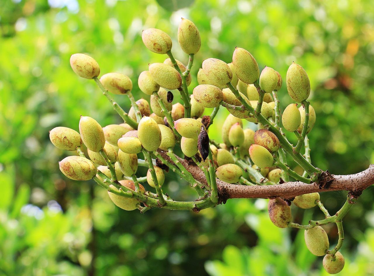 pistaatsia puu