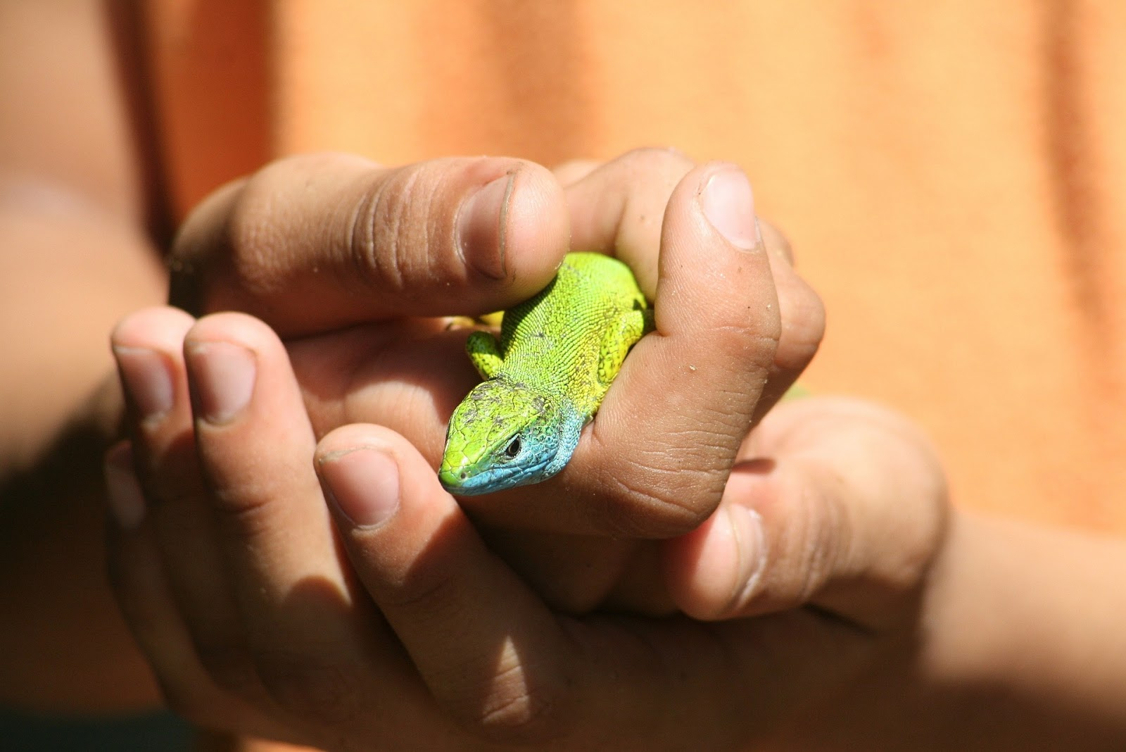 Kid hands holding lizard