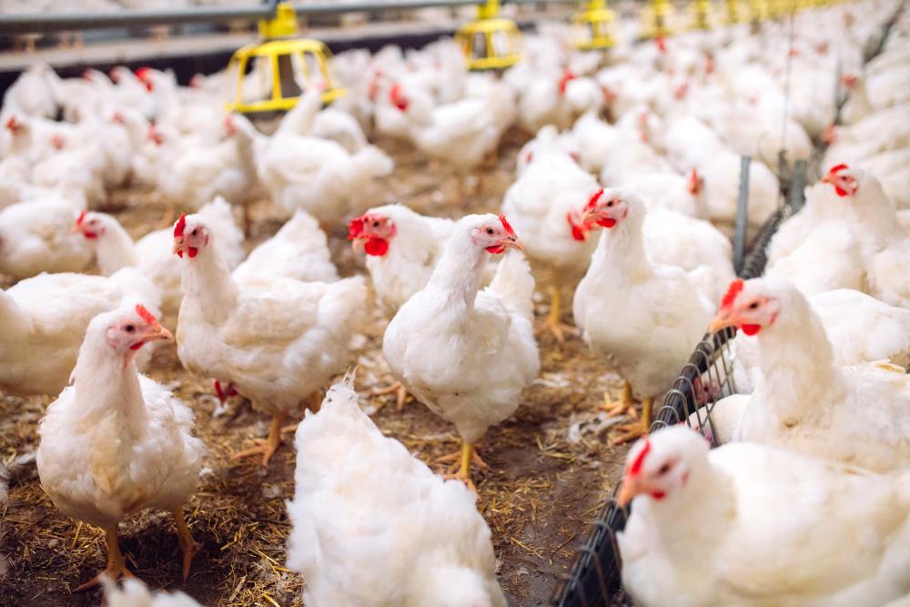 Confirmação de casos leva ao abate preventivo de milhares de aves criadas em granjas. (Fonte: Shutterstock)