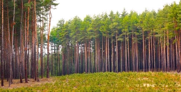 """Resultado de imagem para pinus plantação"""""""