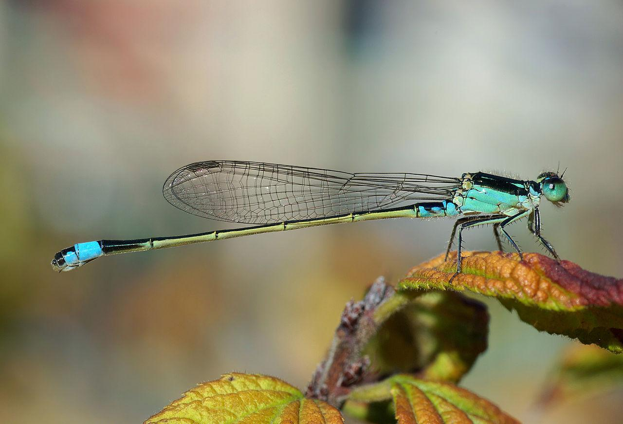 https://upload.wikimedia.org/wikipedia/commons/thumb/6/68/Damselfly_October_2007_Osaka_Japan.jpg/1280px-Damselfly_October_2007_Osaka_Japan.jpg