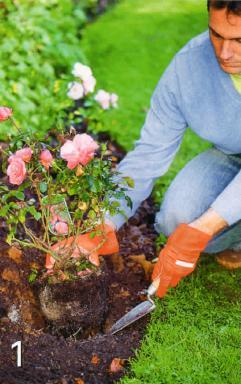 Посадка роз,секреты посадки роз