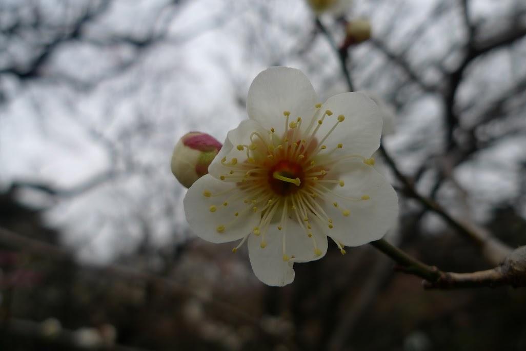 fleur prunier