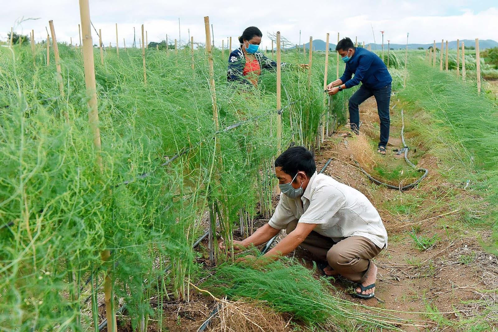 7.Dự án hỗ trợ mỗi hộ gia đình 660 cây giống măng tây và hệ thống tưới tiết kiệm với giá trị khoảng 2,5 triệu đồng.