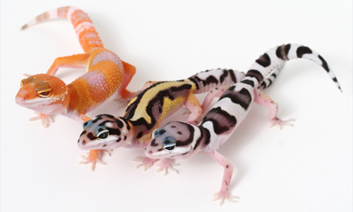 Image result for many types of leopard gecko