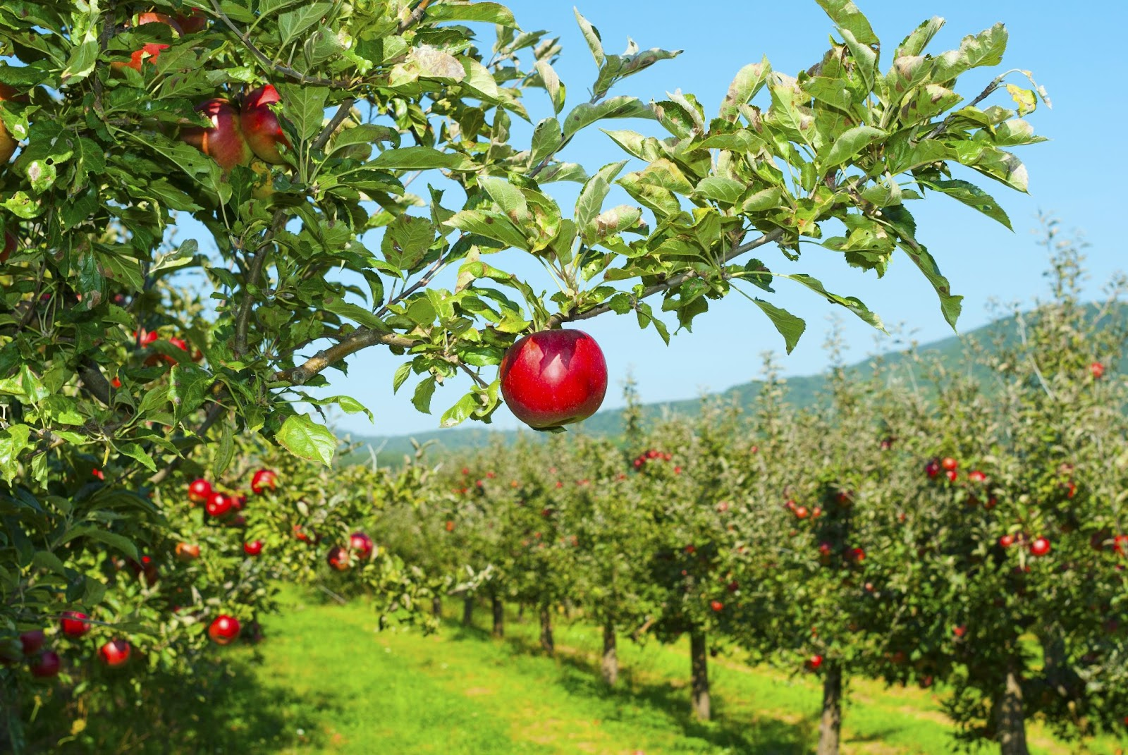 Dividend growth investing: Rows of apple trees in an orchard