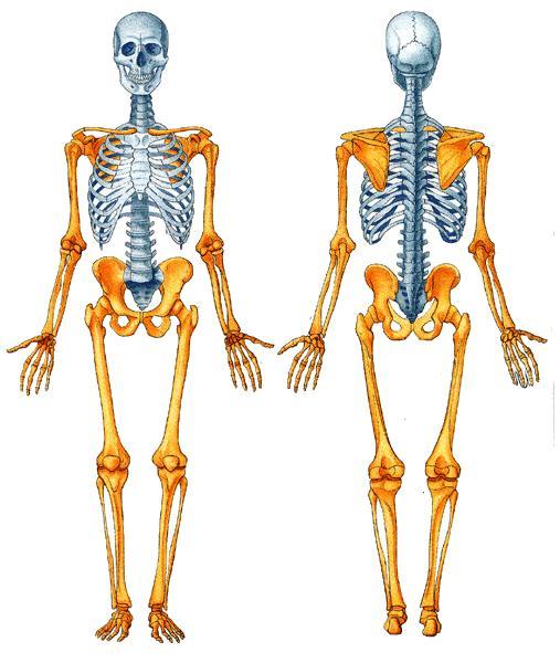 Esqueleto Humano del hombre 1.JPG