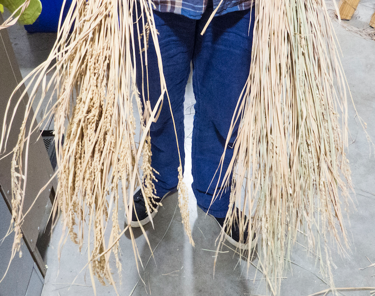 Image showing two bundles of rice.  One before and the other after threshing using the trash can method.