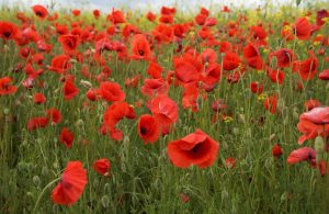 Field with a great competition of poppies.