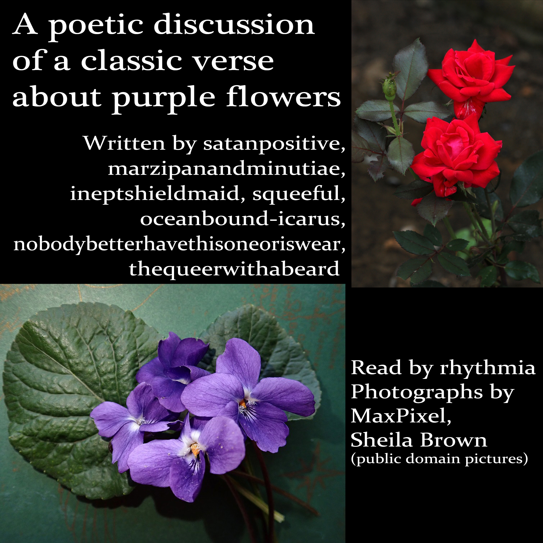 Black background. On the top right corner, a vertical photograph of two red roses. On the bottom left corner, a horizontal photograph of a spray of purple violets and leaves. Top left text reads: A poetic discussion of a classic verse about purple flowers. Text below reads: Written by satanpositive, marzipanandminutiae, ineptshieldmaid, squeeful, oceanbound-icarus, nobodybetterhavethisoneoriswear, thequeerwithabeard. Bottom right text reads: Read by rhythmia Photographs by MaxPixel, Sheila Brown (public domain pictures)