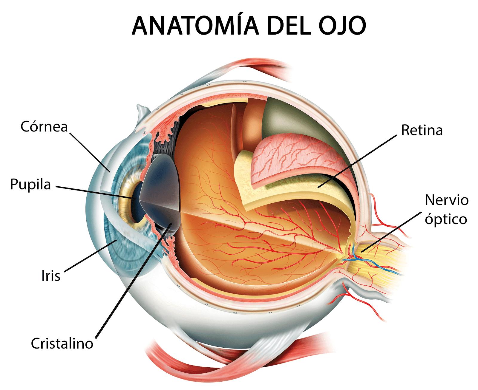 Resultado de imagen de cornea medical optica