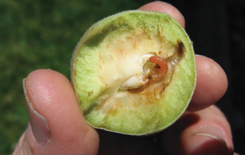 Oriental fruit moth larva is visible in a bisected unripe fruit.