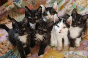 How many kittens can a cat have in a year