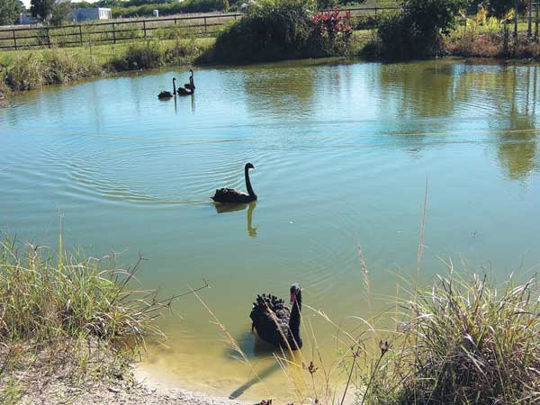 The rope is stretched across the pond and moved toward the swans